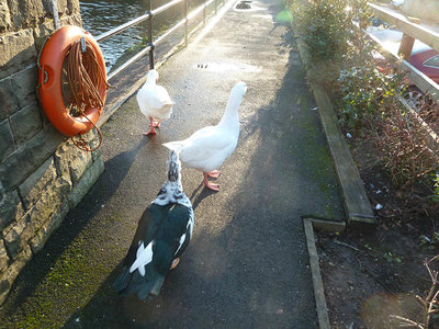 aa-a-ingersley-mill-pond-ducks